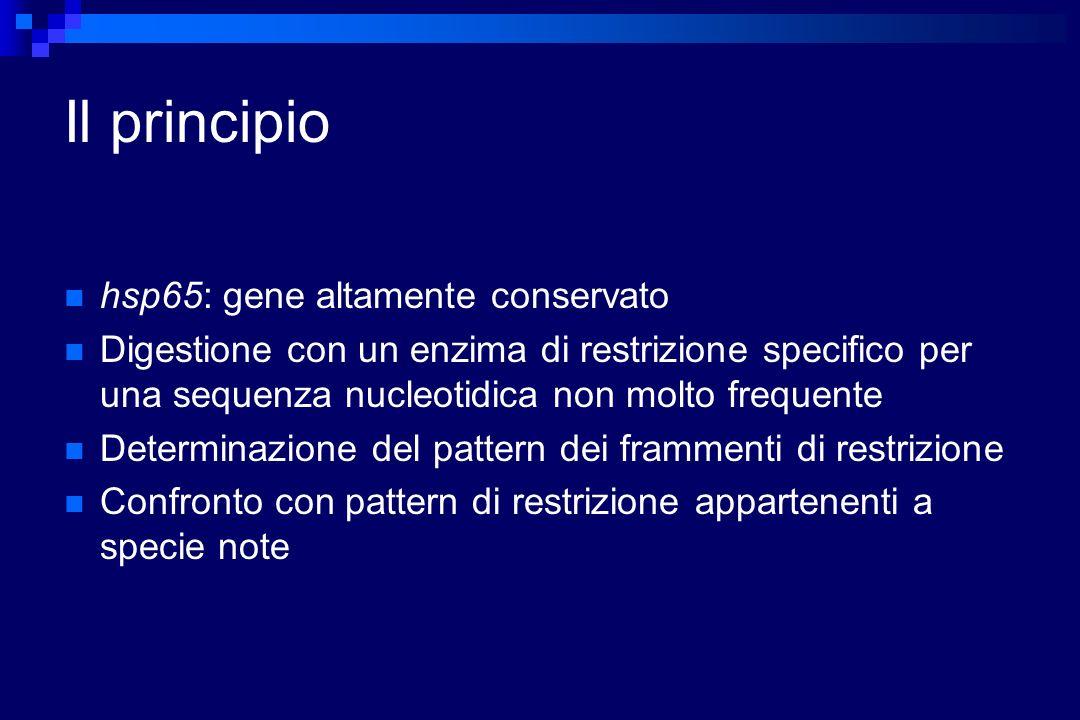 Il principio hsp65: gene altamente conservato