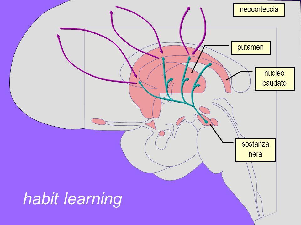 neocorteccia putamen nucleo caudato sostanza nera habit learning