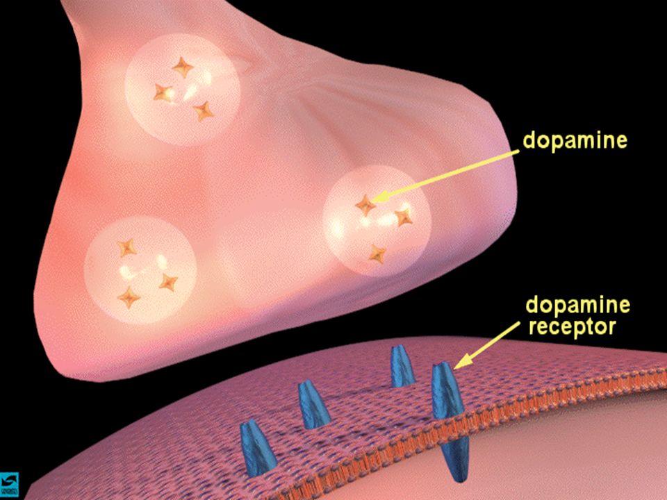 Esempio importante nel nostro caso di terminale sinaptico contenente uno speciale neurotrasmettitore, la dopamina,… recettori…