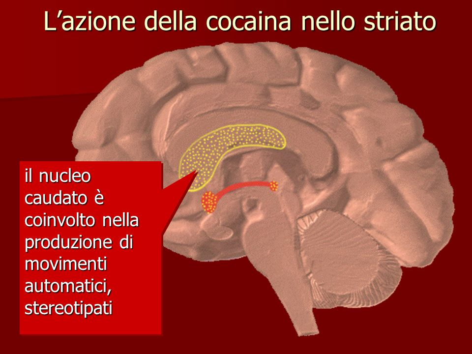 L'azione della cocaina nello striato