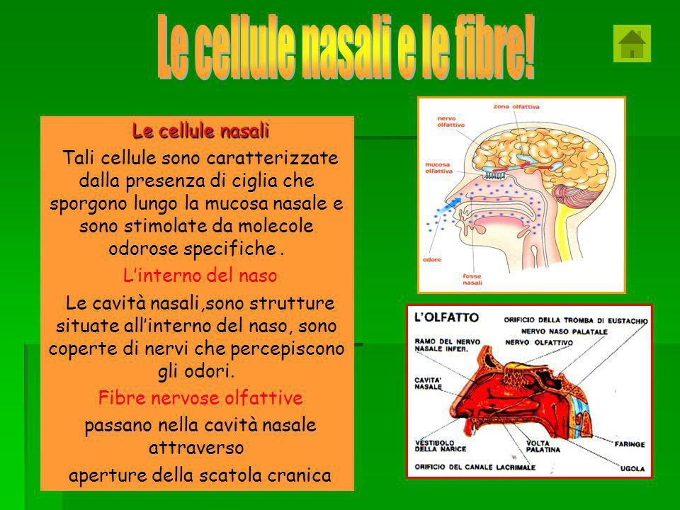 Le cellule nasali e le fibre!