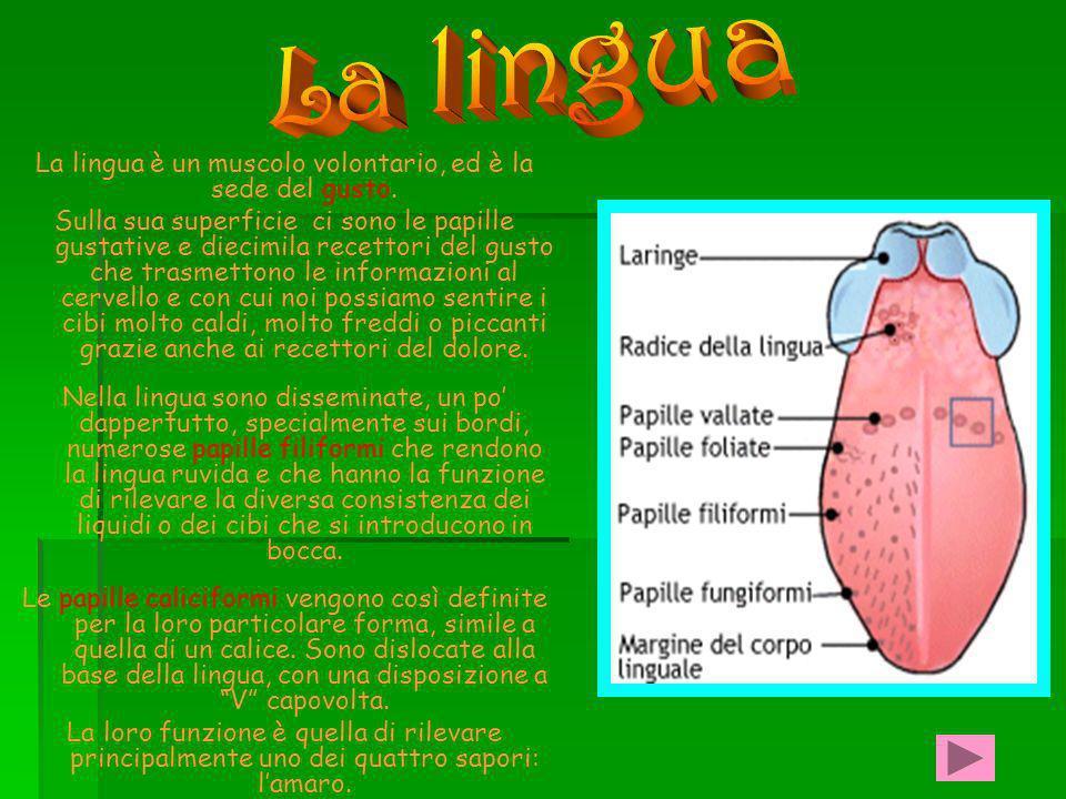 La lingua è un muscolo volontario, ed è la sede del gusto.