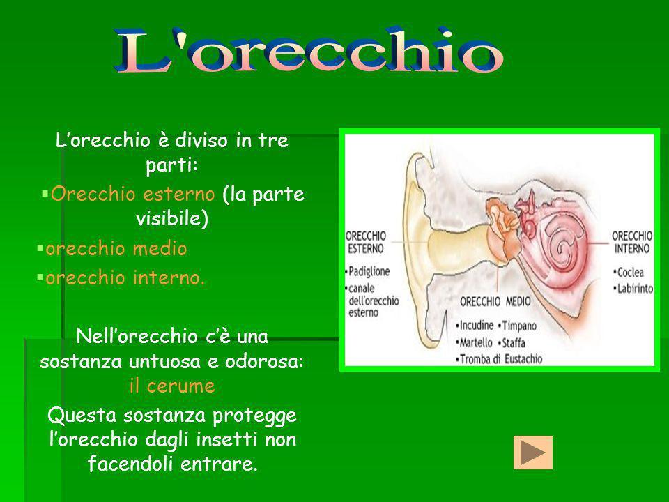 L orecchio L'orecchio è diviso in tre parti: