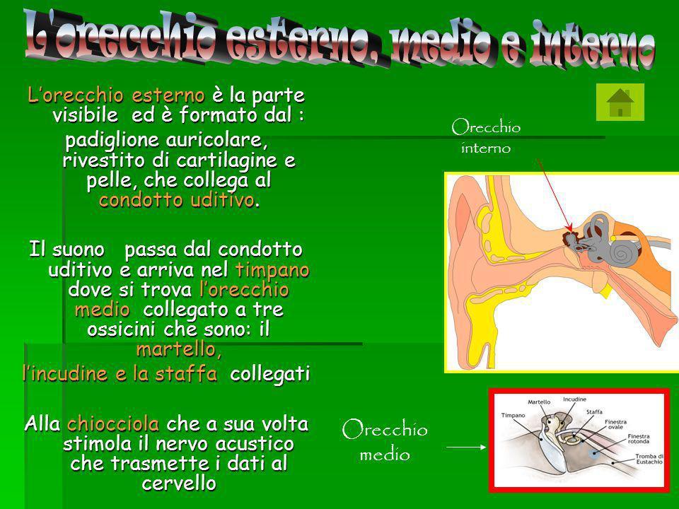 L orecchio esterno, medio e interno
