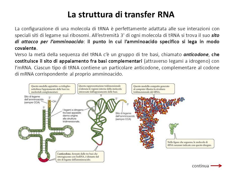 La struttura di transfer RNA