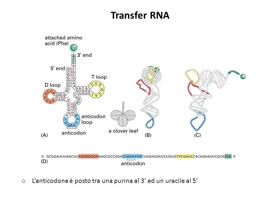 Transfer RNA L'anticodone è posto tra una purina al 3' ed un uracile al 5'