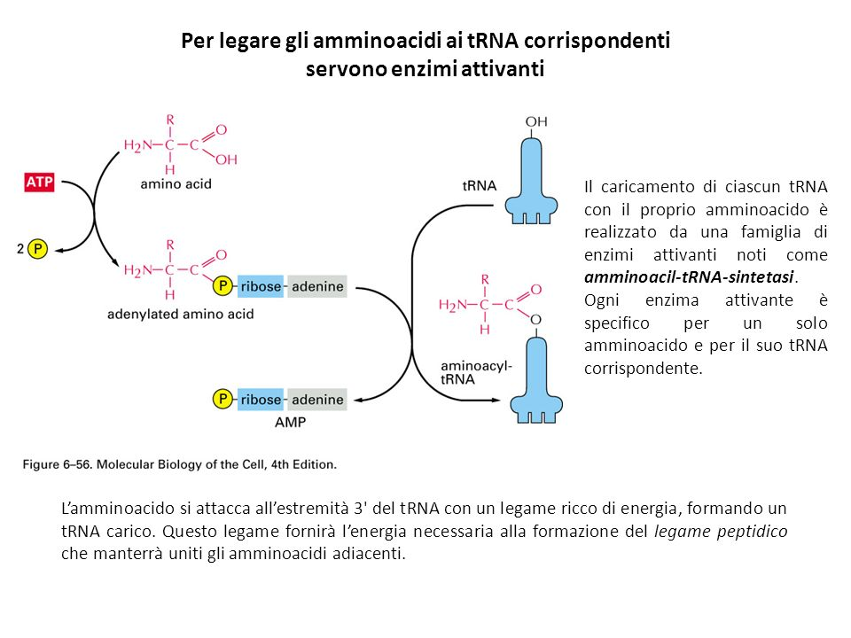 Per legare gli amminoacidi ai tRNA corrispondenti
