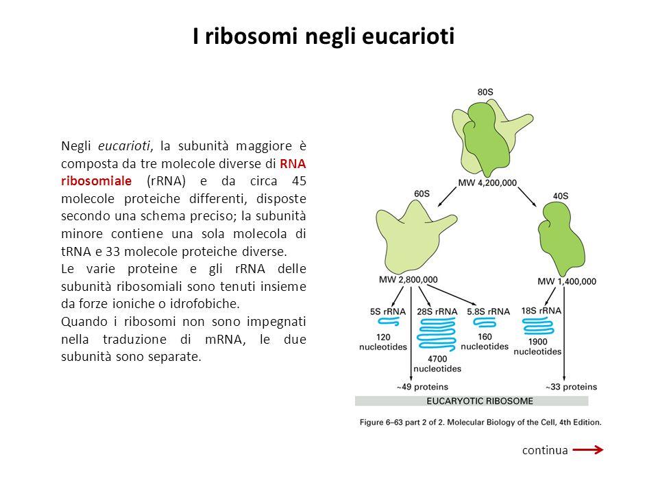 I ribosomi negli eucarioti