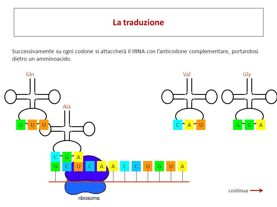 La traduzione La fase di traduzione ha inizio quando l'RNA messaggero si attacca al ribosoma.