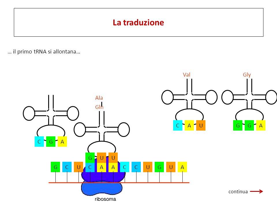 La traduzione … il primo tRNA si allontana… U C A Val A G Gly Ala C G