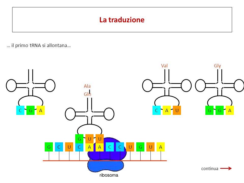 La traduzione … il primo tRNA si allontana… U C A Val A G Gly C G A