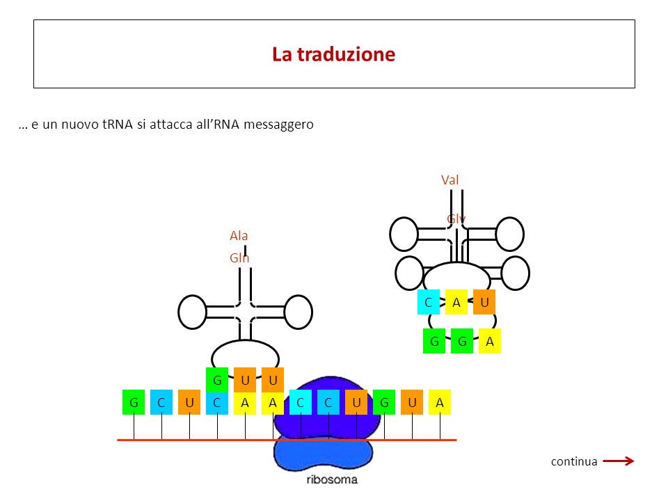 La traduzione … e un nuovo tRNA si attacca all'RNA messaggero U C A
