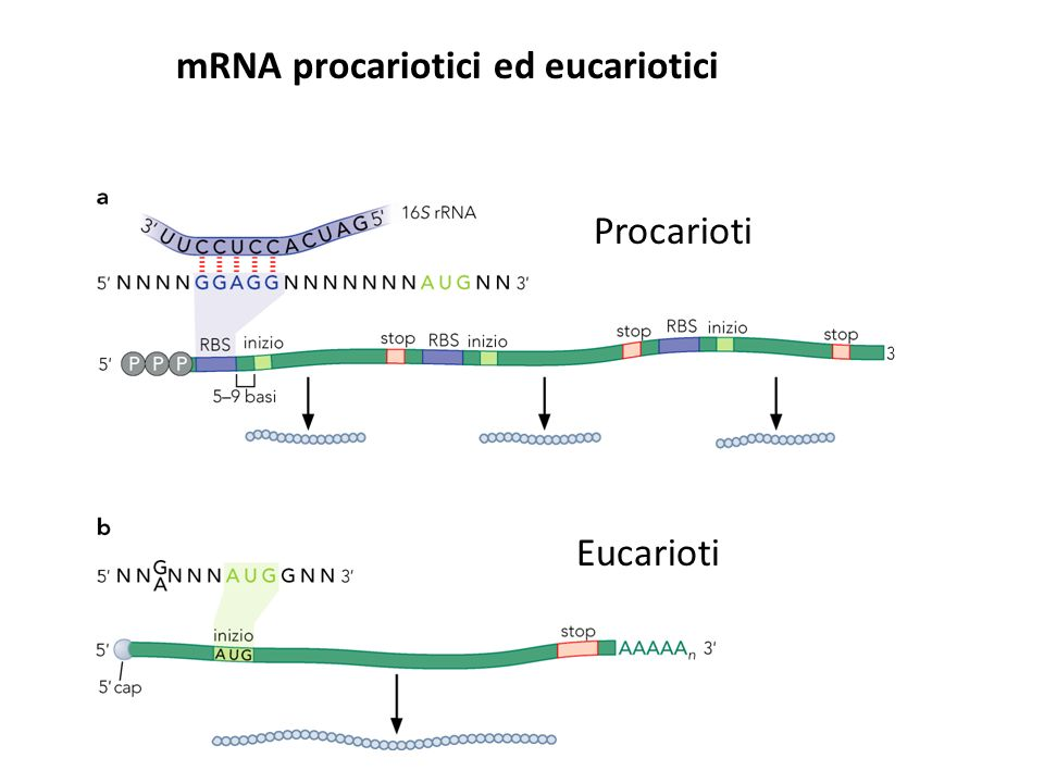 mRNA procariotici ed eucariotici