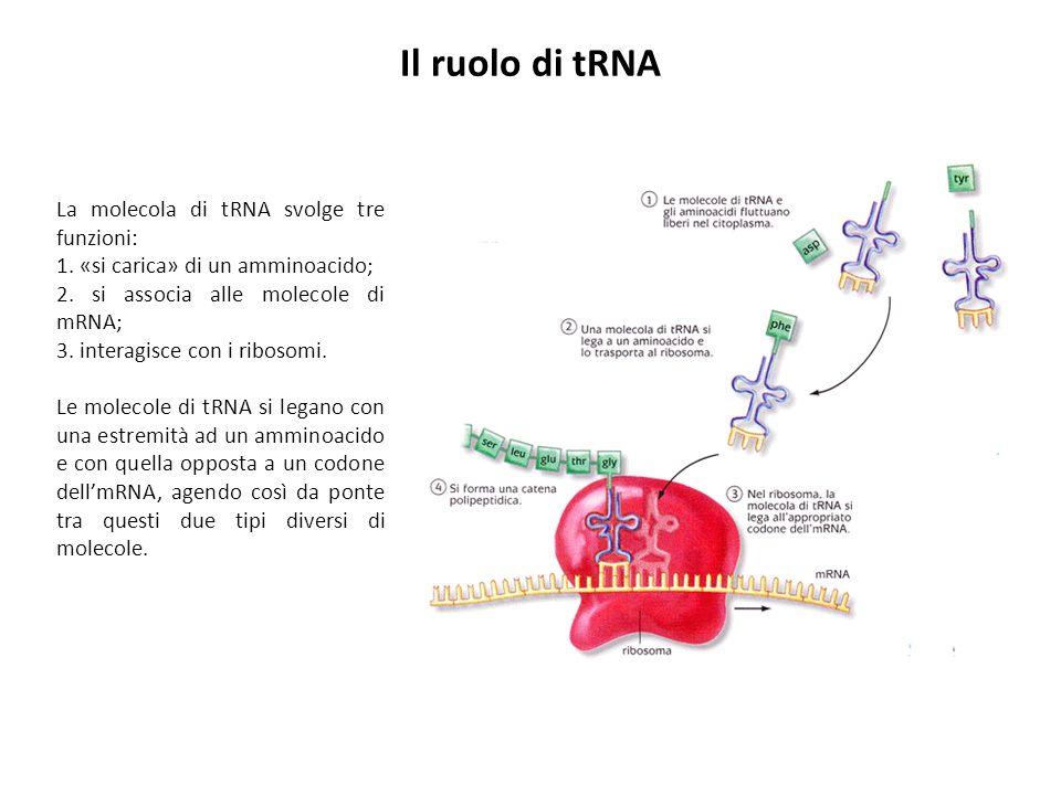 Il ruolo di tRNA La molecola di tRNA svolge tre funzioni: