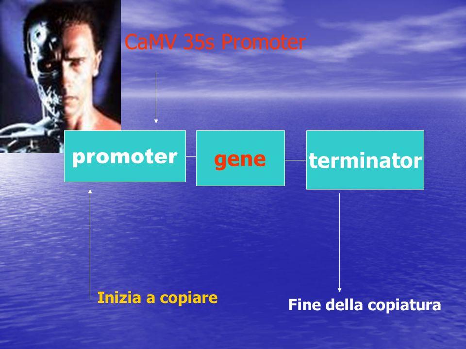 CaMV 35s Promoter promoter gene terminator Inizia a copiare