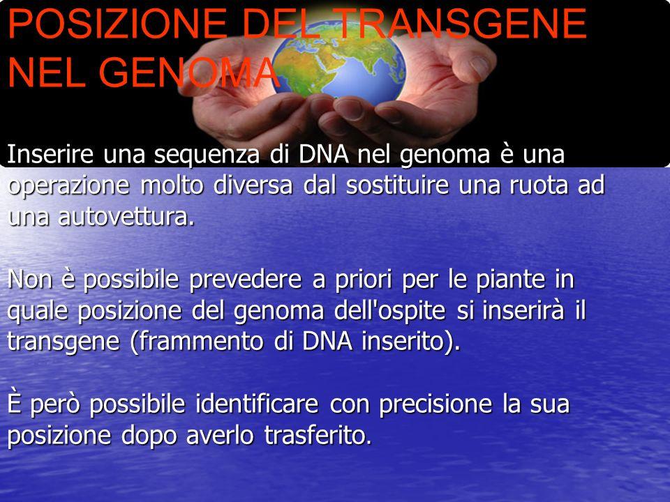 POSIZIONE DEL TRANSGENE NEL GENOMA Inserire una sequenza di DNA nel genoma è una operazione molto diversa dal sostituire una ruota ad una autovettura.