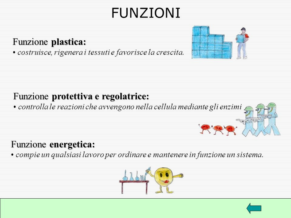 FUNZIONI Funzione plastica: Funzione protettiva e regolatrice: