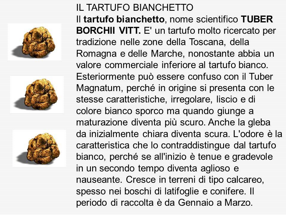 IL TARTUFO BIANCHETTO Il tartufo bianchetto, nome scientifico TUBER BORCHII VITT.
