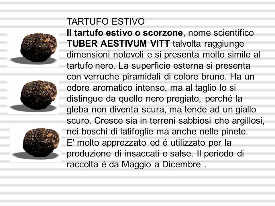 TARTUFO ESTIVO Il tartufo estivo o scorzone, nome scientifico TUBER AESTIVUM VITT talvolta raggiunge dimensioni notevoli e si presenta molto simile al tartufo nero.