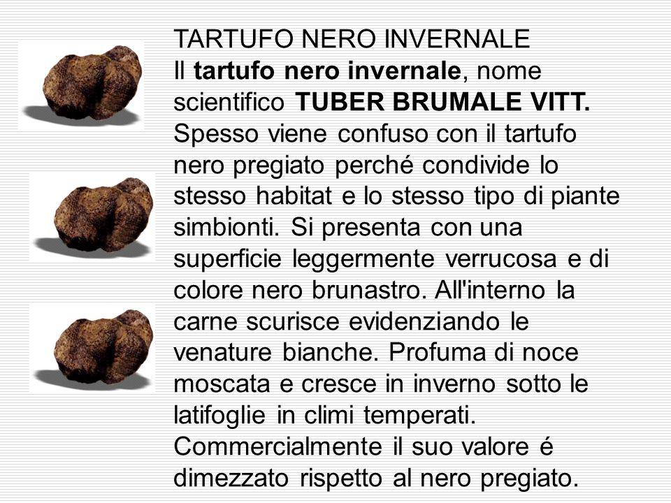 TARTUFO NERO INVERNALE Il tartufo nero invernale, nome scientifico TUBER BRUMALE VITT.