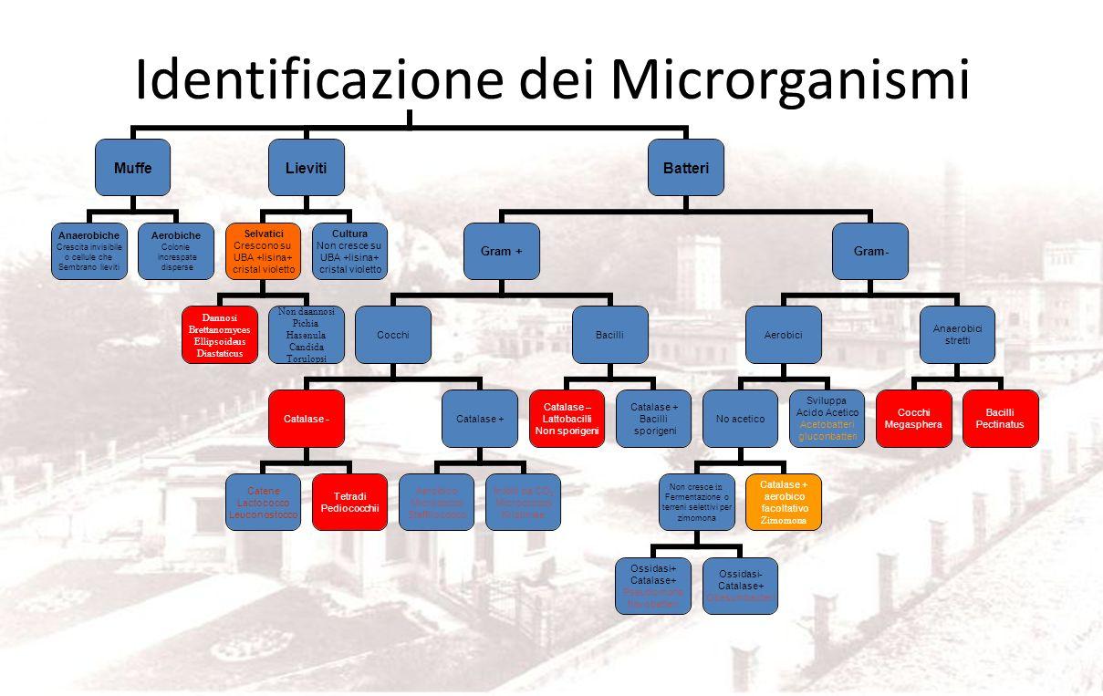 Identificazione dei Microrganismi