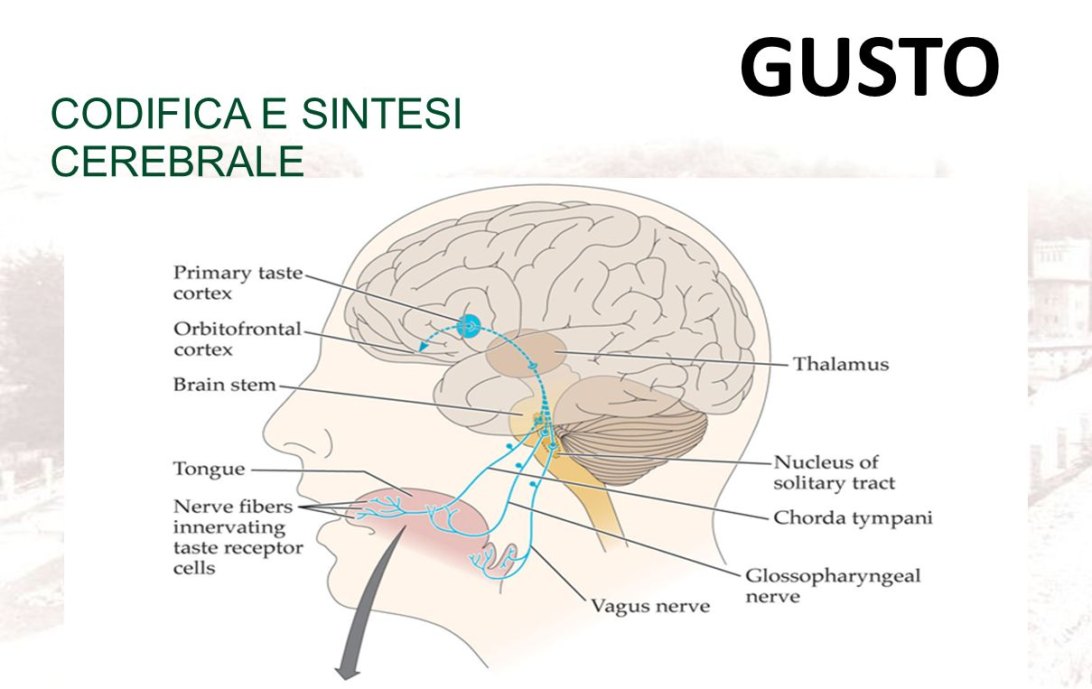 GUSTO CODIFICA E SINTESI CEREBRALE