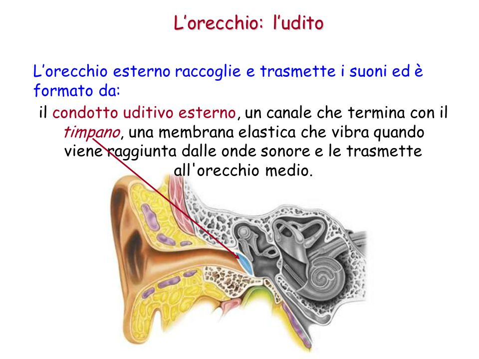 L'orecchio: l'udito L'orecchio esterno raccoglie e trasmette i suoni ed è formato da: