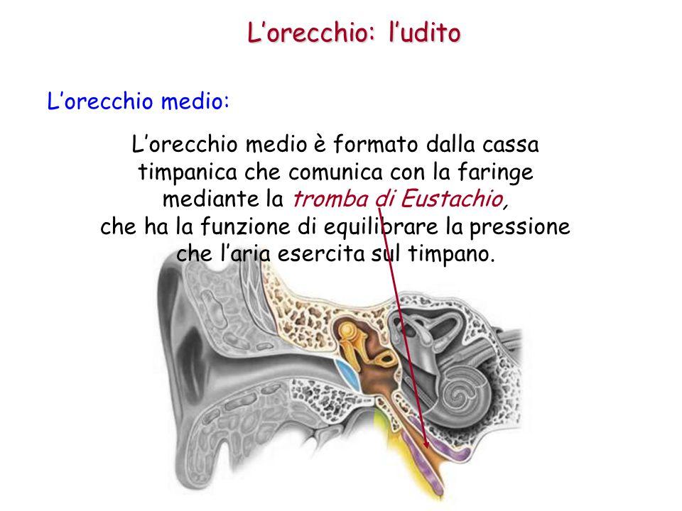 L'orecchio: l'udito L'orecchio medio: