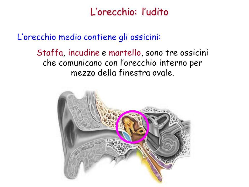 L'orecchio: l'udito L'orecchio medio contiene gli ossicini: