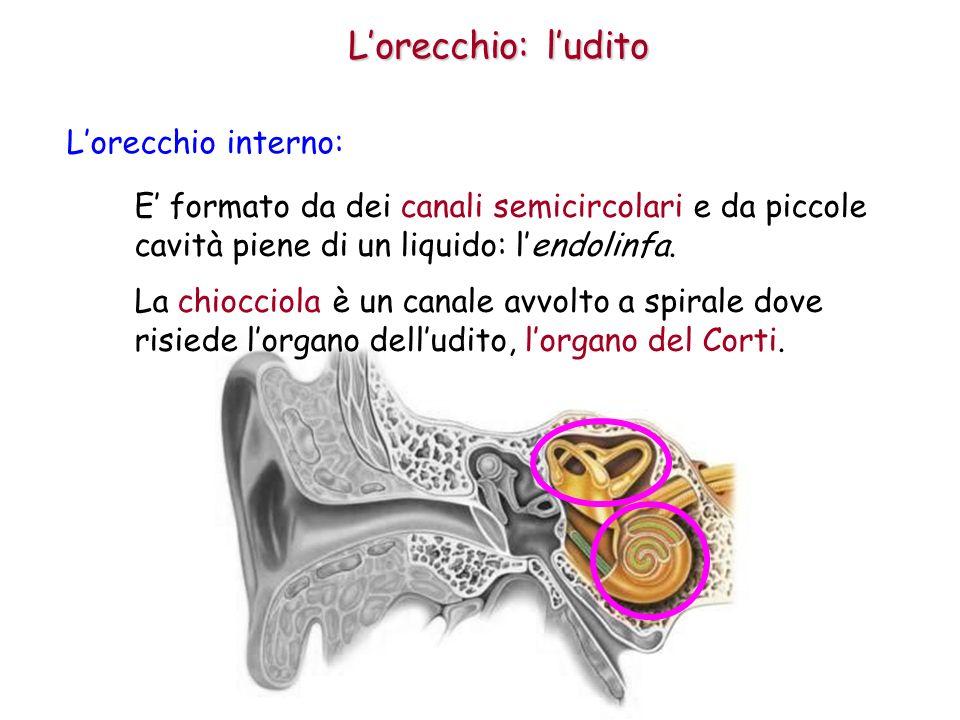 L'orecchio: l'udito L'orecchio interno:
