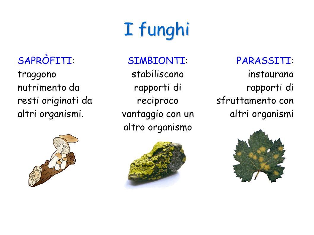 I funghi SAPRÒFITI: traggono nutrimento da resti originati da altri organismi.