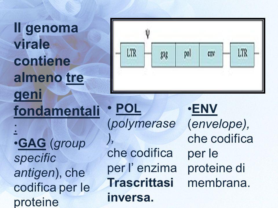 Il genoma virale contiene almeno tre geni fondamentali: