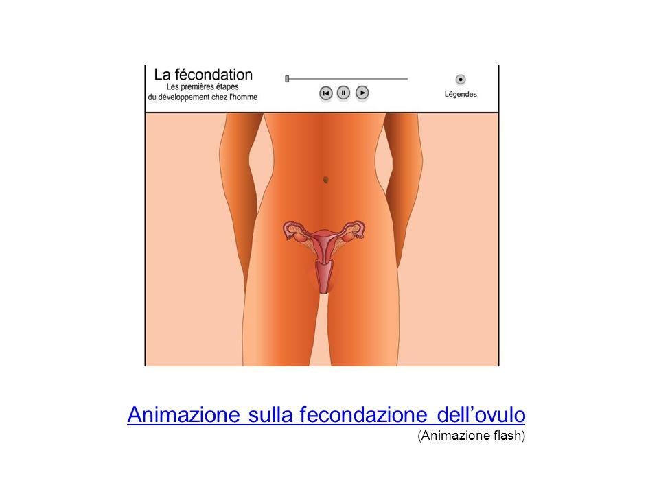Animazione sulla fecondazione dell'ovulo