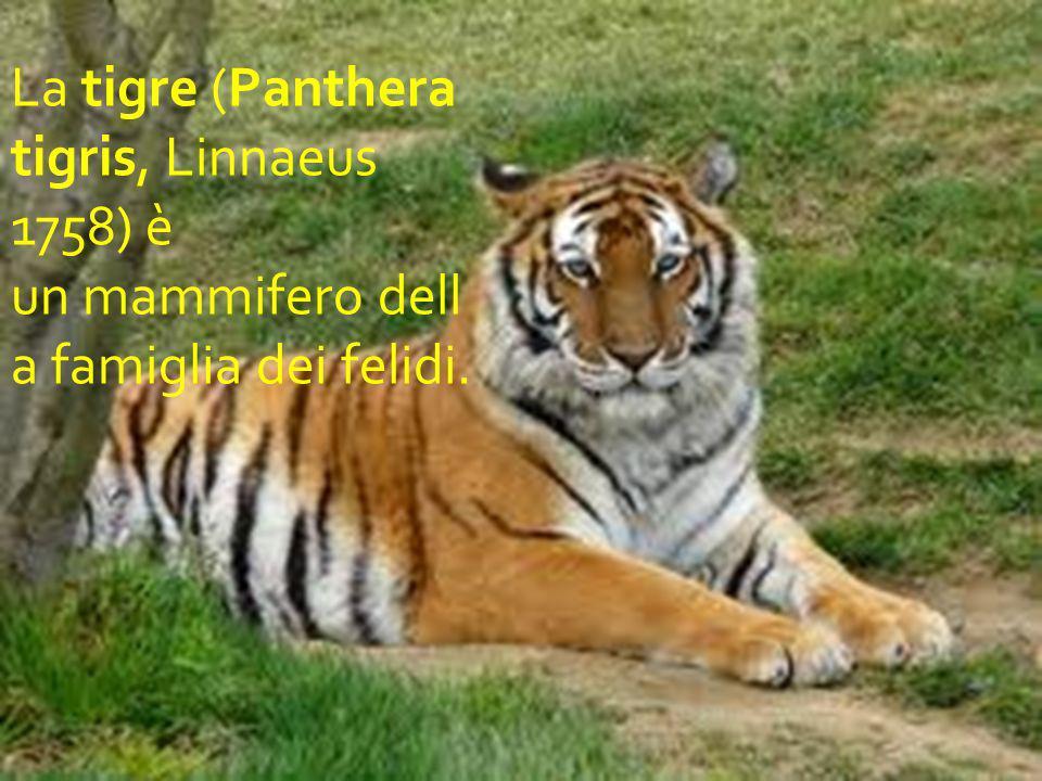 La tigre (Panthera tigris, Linnaeus 1758) è un mammifero della famiglia dei felidi.