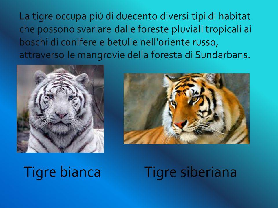 Tigre bianca Tigre siberiana