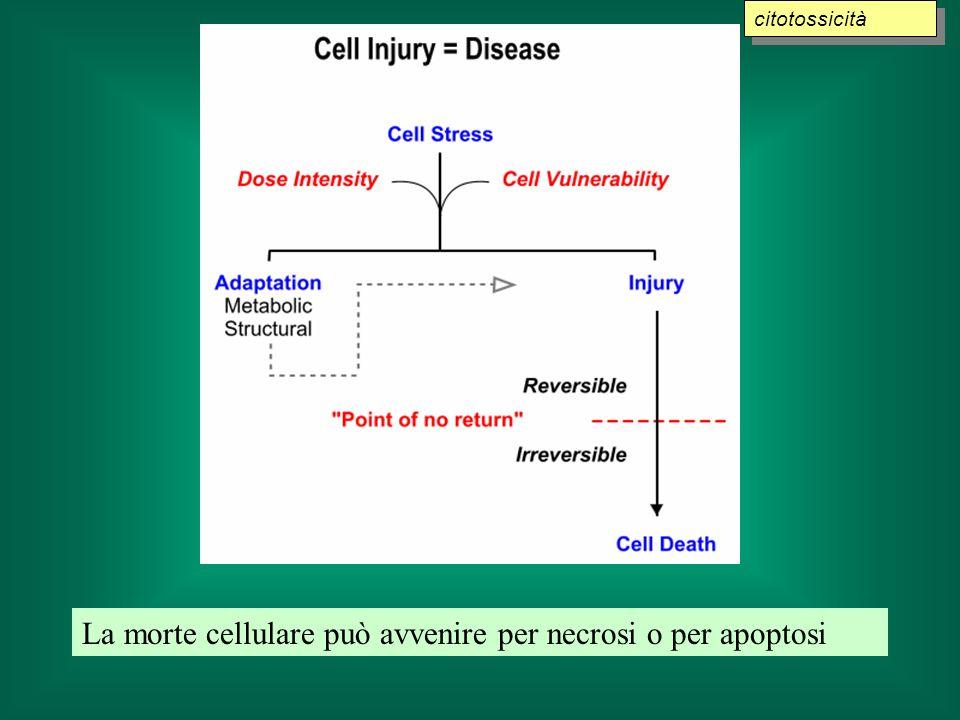 La morte cellulare può avvenire per necrosi o per apoptosi
