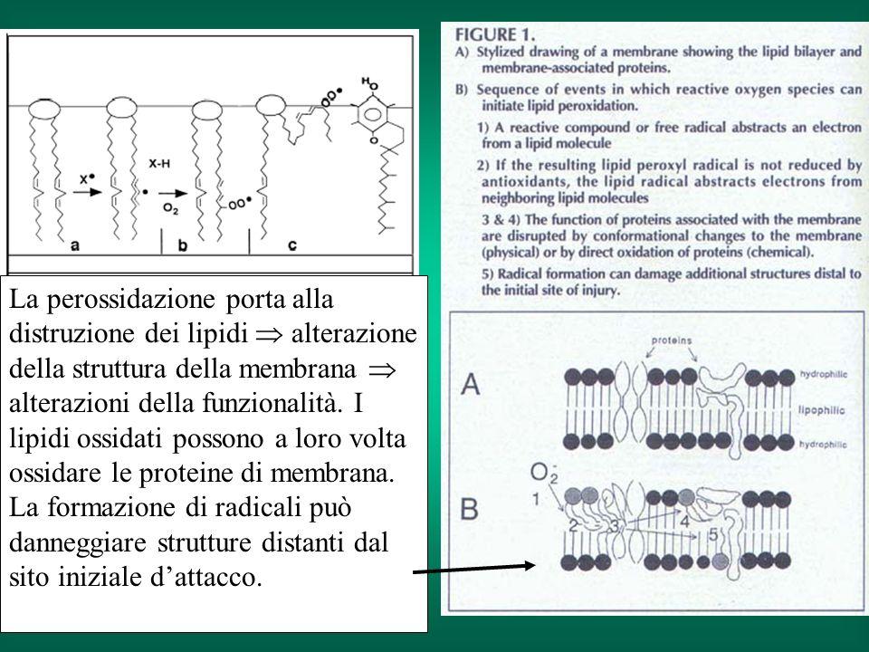 La perossidazione porta alla distruzione dei lipidi  alterazione della struttura della membrana  alterazioni della funzionalità.