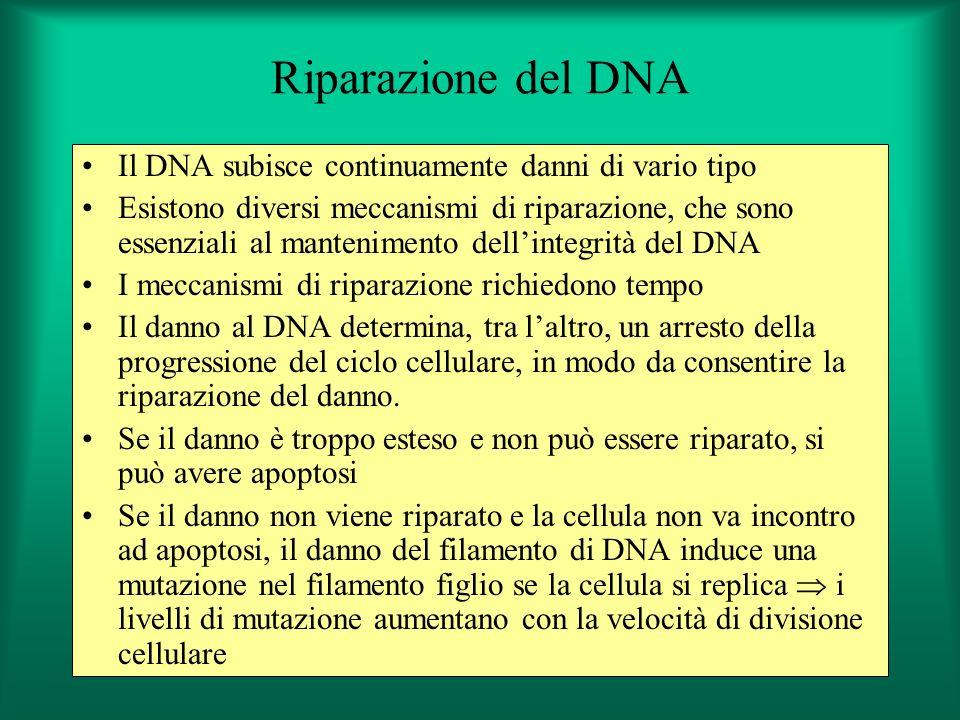 Riparazione del DNA Il DNA subisce continuamente danni di vario tipo