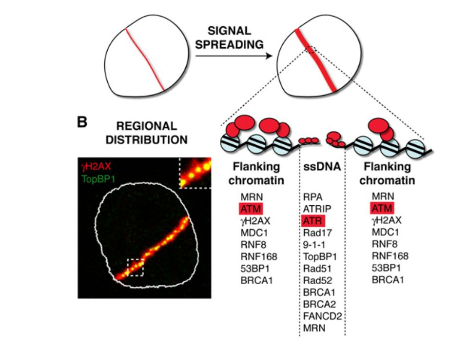 Spatial organization of DDR protein accumulation at DNA DSBs