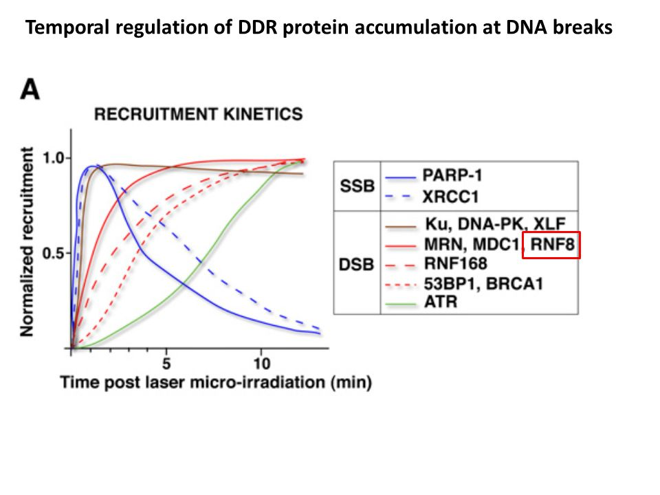 Temporal regulation of DDR protein accumulation at DNA breaks
