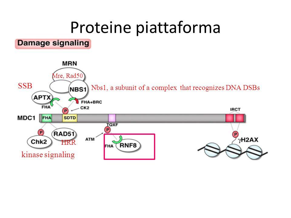 Proteine piattaforma SSB kinase signaling