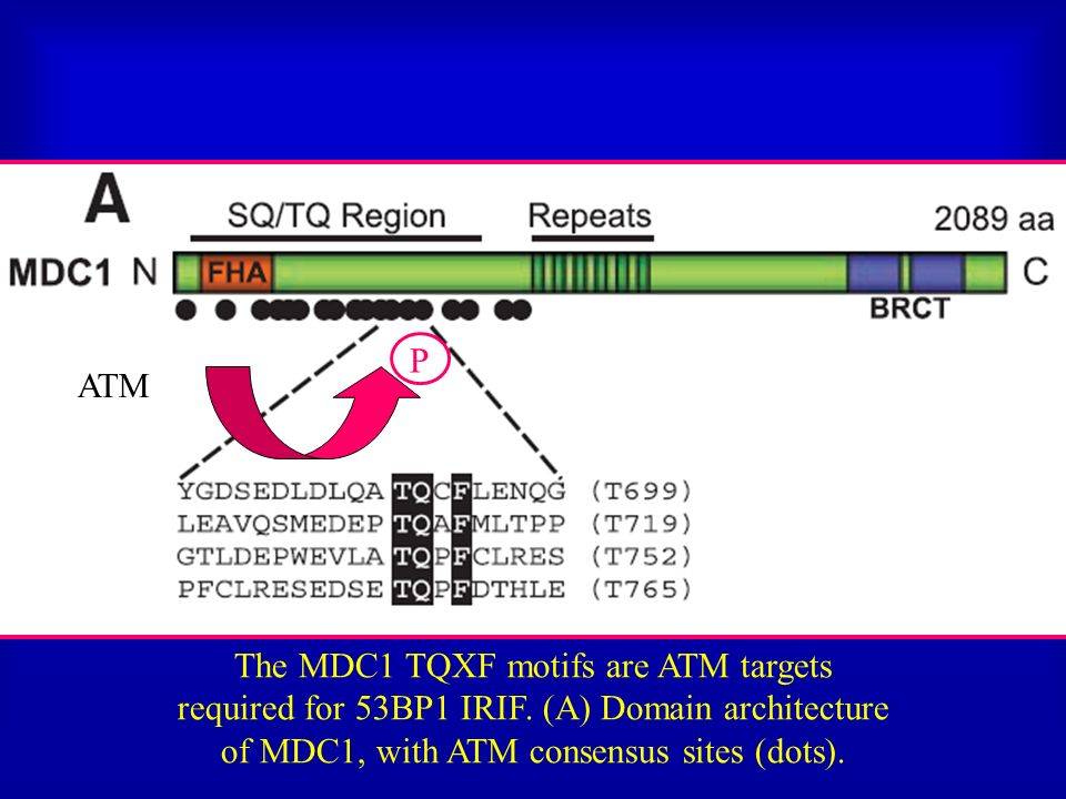 The MDC1 TQXF motifs are ATM targets