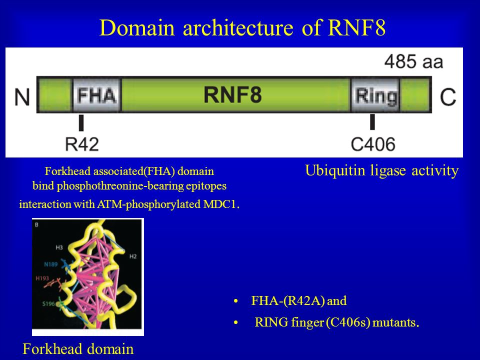 Domain architecture of RNF8