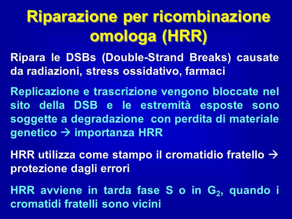 Riparazione per ricombinazione omologa (HRR)