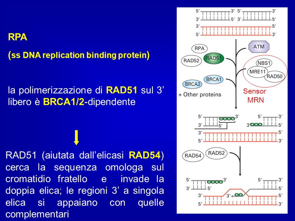 (ss DNA replication binding protein)