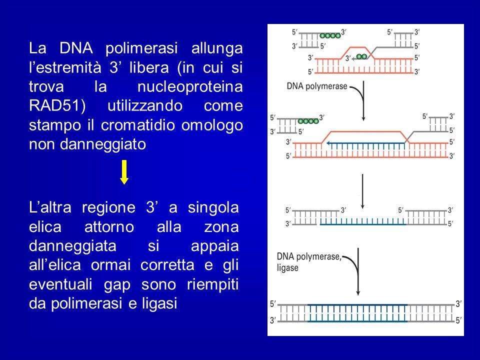 La DNA polimerasi allunga l'estremità 3' libera (in cui si trova la nucleoproteina RAD51) utilizzando come stampo il cromatidio omologo non danneggiato
