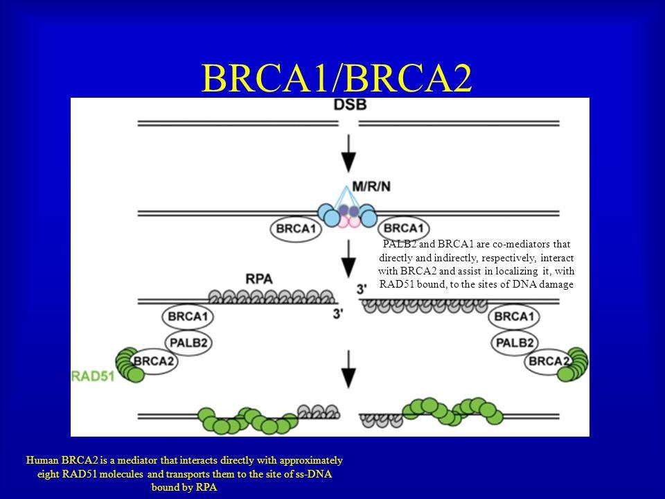 BRCA1/BRCA2