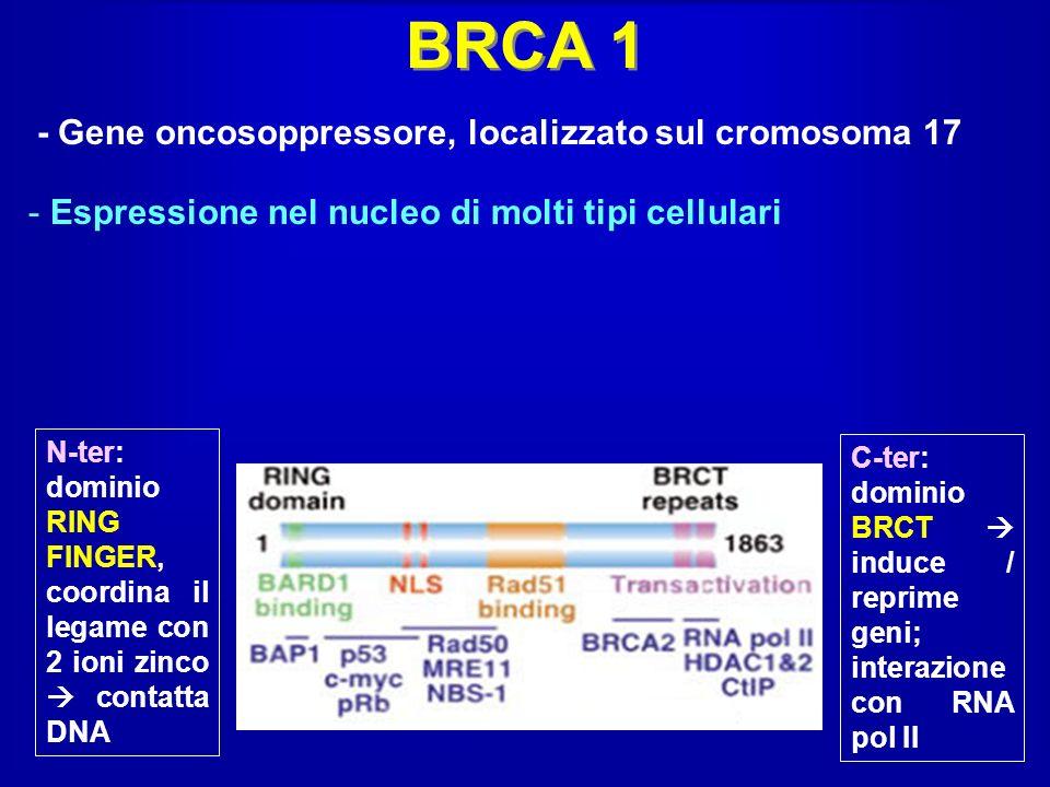 BRCA 1 - Gene oncosoppressore, localizzato sul cromosoma 17