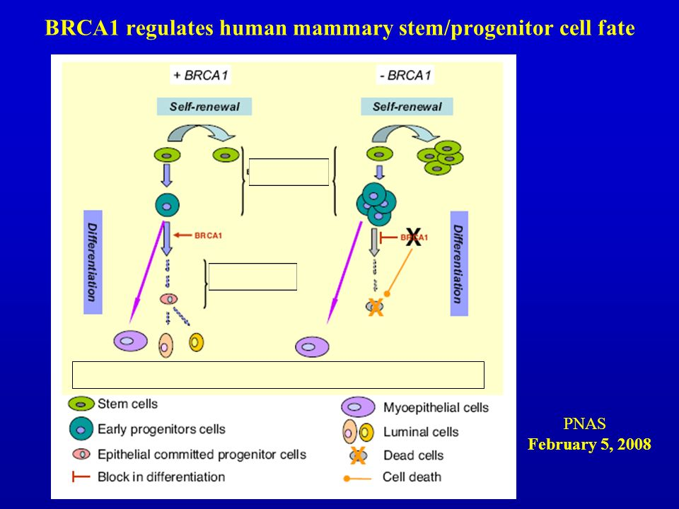 BRCA1 regulates human mammary stem/progenitor cell fate