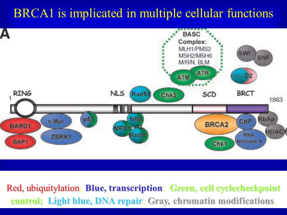 BRCA1 is implicated in multiple cellular functions